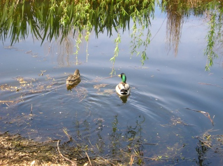 ducks-in-water.jpg