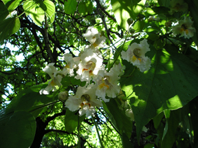 flowering-tree-copy.jpg