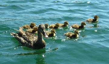duck-family.jpg