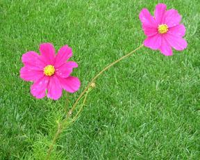 2-pink-flowers.jpg