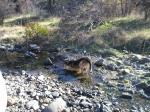 buck-sitting-water